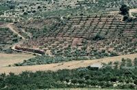 Champs d'oliviers ; crédits CNES