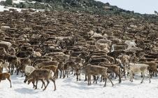 Le renne sauvage suivi par Argos
