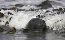 Les balises Argos sont aussi utilisées pour suivre et étudier les animaux marins, comme cet éléphant de mer