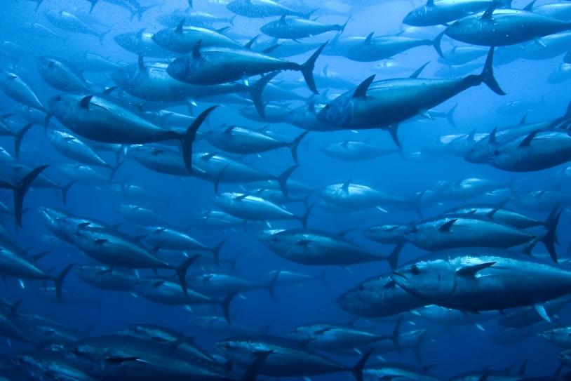 La prévision de l'évolution des stocks de poissons depuis l'espace permet de gérer durable les ressources marines