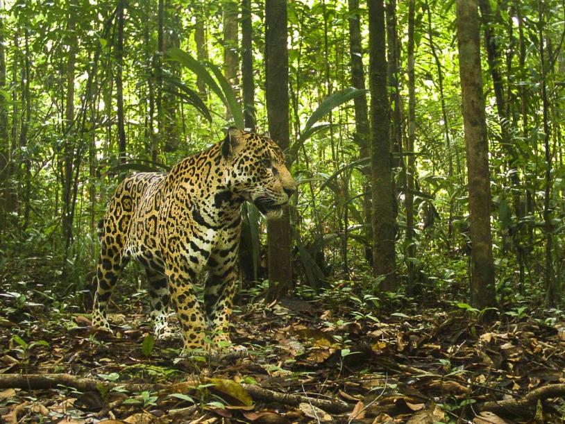 Jaguar au Centre spatial guyanais