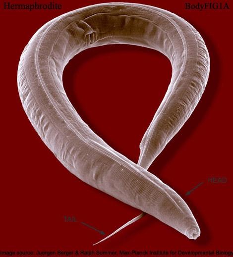 Caenorhabditis elegans. © 2002 Wormatlas