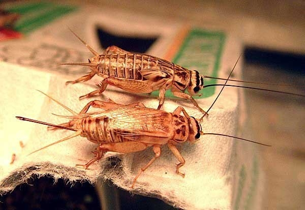 House crickets , credits : CNES