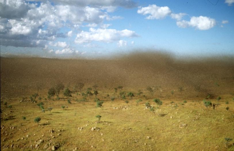 Un essaim de criquets migrateurs à Madagascar. Crédit : M. Lecoq, CIRAD