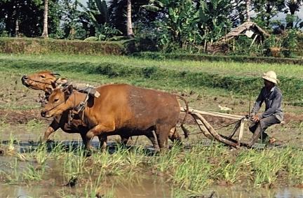 Agriculteur labourant une rizière. Crédit : B.Maybon