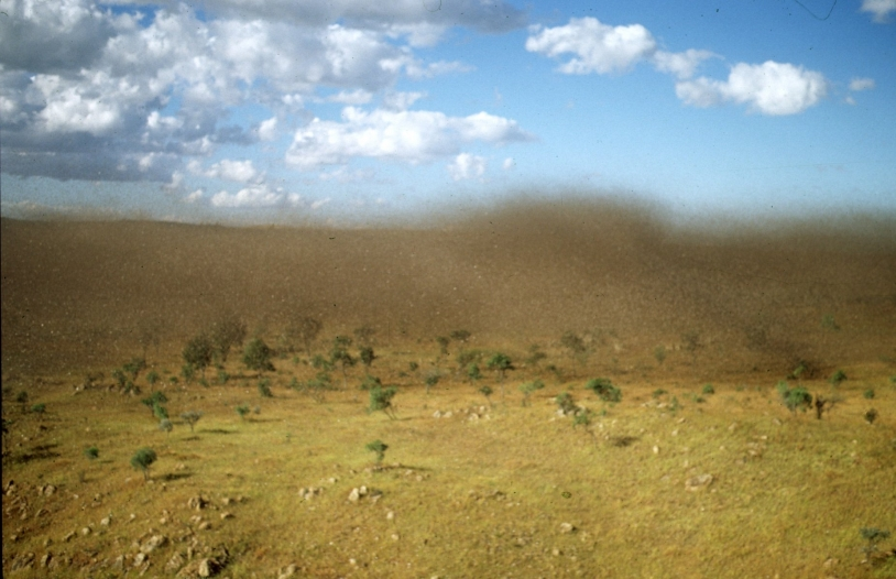 Desert locust swarm in Madagascar. Copyright : M. Lecoq, CIRAD.