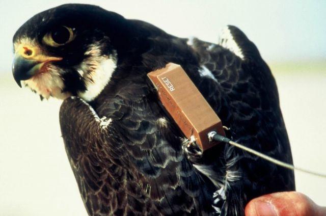 Balise Argos placée sur le dos d'un faucon pèlerin. Crédits : CNES.