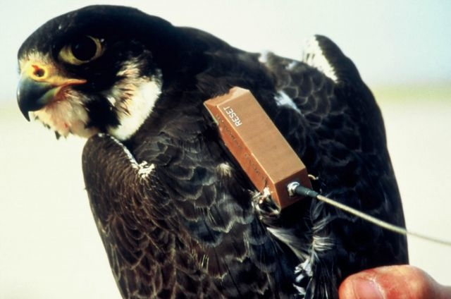 Argos transmitter tagged to a peregrine falcon. Credits: CNES.