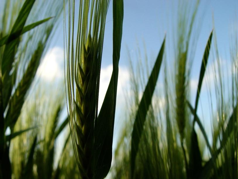 L'ammoniac provient principalement de l'usage des fertilisants agricoles et de l'intensification des pratiques d'élevages. Crédits : ville Le Poiré-sur-Vie.