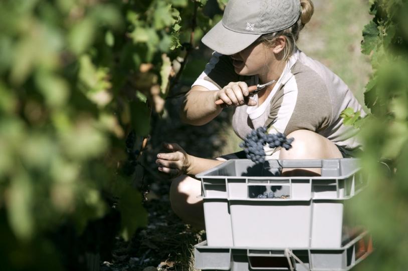 Les vignes de Stephen Carrier sont minutieusement vendangées grâce à Oenoview. Crédits : CNES.