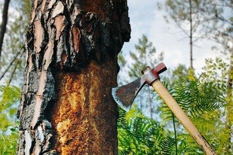 Le scolyte bloque la sève qui vient à manquer, l'arbre étouffe et meurt. Crédits : Sud Ouest.