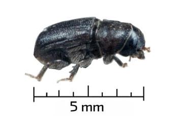 Scolyte Dendroctonus ponderosae, le coléoptère ravageur des fôrets de pins. Crédits : USFS.