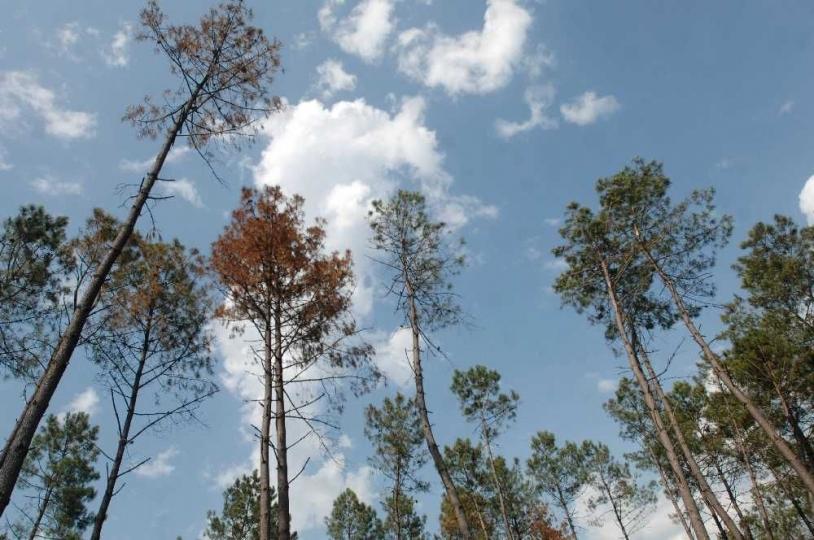 Les arbres atteints par le scolyte rougissent. Crédits : Sud Ouest.