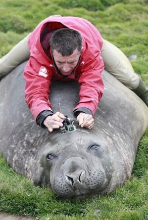 Christophe Guinet en équilibre sur le dos d'un éléphant de mer pour lui fixer un émetteur Argos sur la tête. Crédits : CNRS/CEBC.