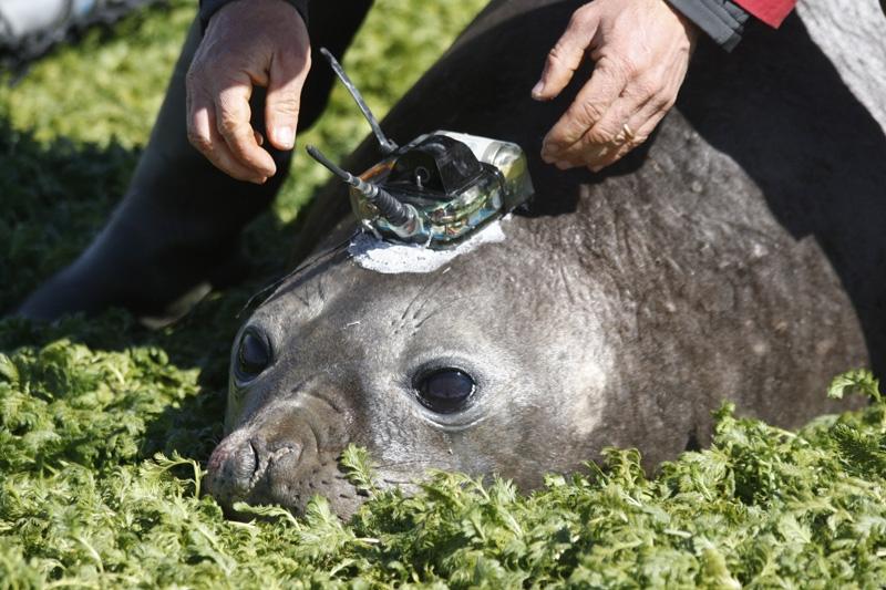 La balise Argos est collée sur la tête de l'animal avec une résine à prise rapide. Crédits : CNRS-CEBC/SEaOS.